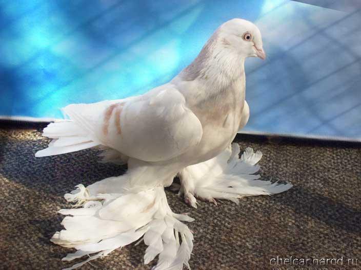Агараны голуби